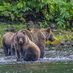 Mother brown bear and two large cubs