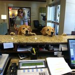 Even our Goldens love the Country Inns and Suites