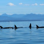 Orcas in the Crystal Blue Water