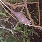 Abendessen mit showeinlage vom opossum