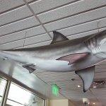 A Hanging Shark