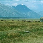 Mormon Row, buffalo, and the mountains