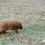 we saw an echidna on the property