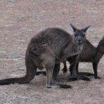 resident kangaroos