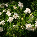Gardenia Bed in Bloom