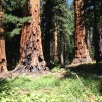 Foto de Mariposa Grove of Giant Sequoias