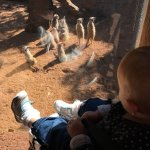 Up close with the meerkats