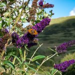 The Buddleia in the garden of Rowan Cottage and the view behind. There are LOADS of butterflies.