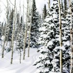 Aspen & Evergreens