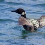 This loon was not shy and came very close to our boat.