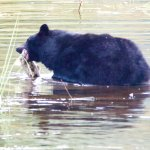 Bear catching his lunch....nice sized salmon.