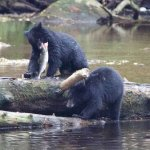 Two cubs enjoying a salmon lunch.