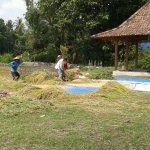 farmers separate rice kernels from husks (in the village near the bungalows)