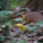 it's blurry...but it's an armadillo!