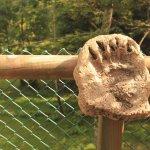 La pezuña o pata de un oso.