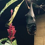 They've got a fruit bat that has been here for years. He's usually found near the old restaurant
