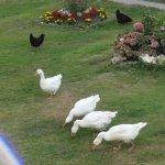 accueil par les oies
