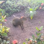 An agouti inside the hotel territory enjoying nice landscaping