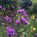 verbena in the garden to attract bees