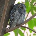 African Scops Owl - Satara Reception area