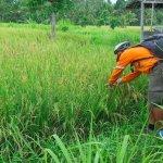 Gede notre formidable guide nous explique le riz