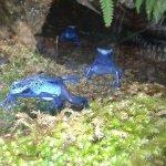 les grenouilles bleu