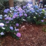 Gorgeous landscaping. Loved seeing these glorious hydrangeas daily.