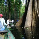 Canoeing through trees in the flooded forest.