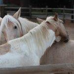 Chincoteague Pony Centre