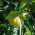 Lemon tree in Herb Garden