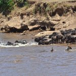 Wildebeests and zebras crossing the river during migration