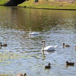 Swans and ducks :)