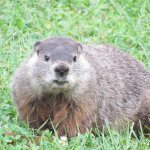 Ground hog near the river