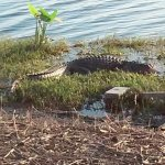 Alligator at Torry Island Campground