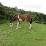 Clydsdale gelding