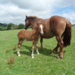 Suffolk Punch Mare and Foal