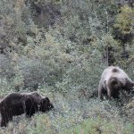 Mama Brown Bear and one of two cubs
