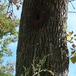 Cyrus McCormick-honeybees in tree