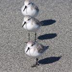 Sanderling Trio