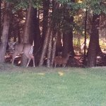 deer coming out of the woods for feeding