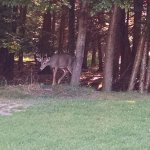 deer coming out of the woods