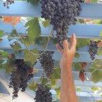 il pergolato con l'uva