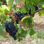 Weintrauben aus der Pfalz