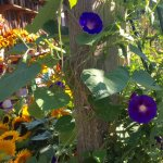 Morning Glories at the Farm