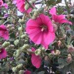 Beautiful hollyhock flowers in courtyard of motel