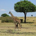 giraffe nursing its young on the Mara