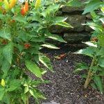 Tabasco peppers, yum!