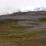 mountain sheepies