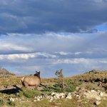 Elk close-up