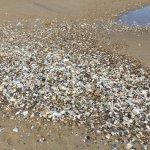 Shells at low tide - all up and down the beach!